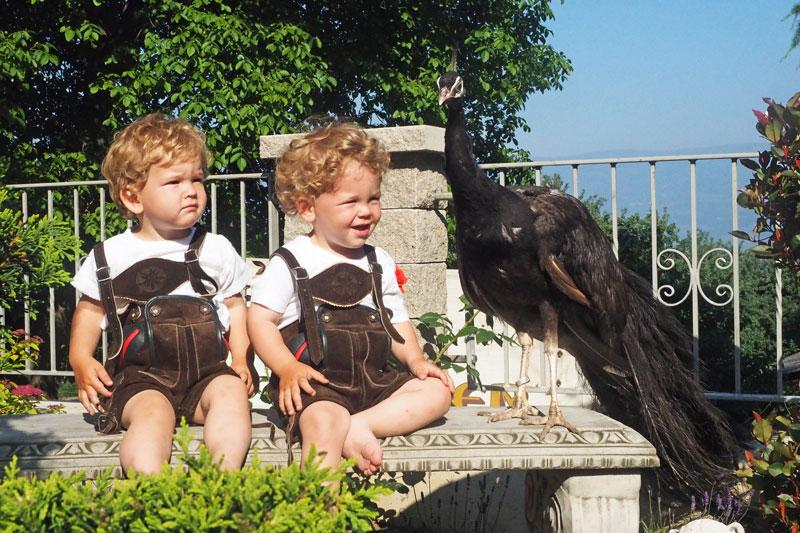 charcoal schwarzfl gel pfau charcoal black shoulder peafowl. Black Bedroom Furniture Sets. Home Design Ideas