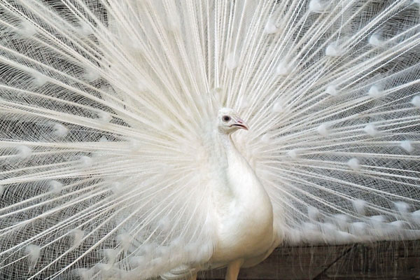 weisser pfau white peafowl. Black Bedroom Furniture Sets. Home Design Ideas